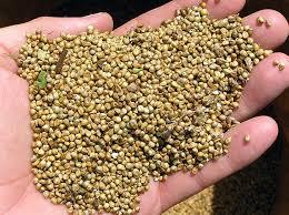 comment cuisiner le millet le millet une céréale parfaite pour manger sans gluten
