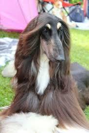 afghan hound 9 months magnificent afghan hounds pinterest animals dog animals