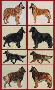 belgian sheepdog vs belgian malinois laura u0027s designs