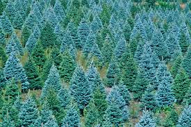 christmas christmas tree farm in zionville north carolina