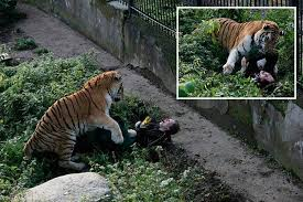witnesses tell how siberian tiger nearly ripped zookeeper s