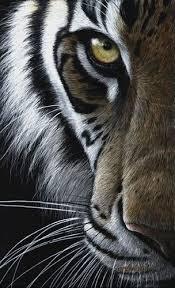 eye of the tiger amanda stas kitties tigers eye