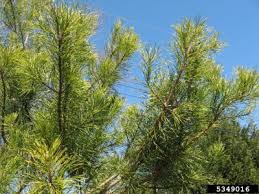 what is a virginia pine tree learn about virginia pine trees in