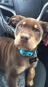 american pit bull terrier lab mix best 20 lab pit mix ideas on pinterest pitbull lab mix pitbull