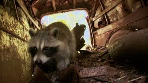 raccoon nation raccoon fact sheet nature pbs