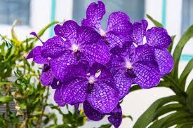 orchid flowers orchid flower orchid flower meaning flower meaning green vauvat