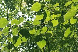 paper birch canoe birch betula papyrifera pacific northwest