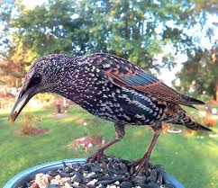 european starling hashtag images on gramunion