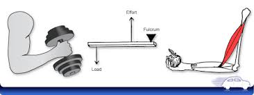 examples of third class levers anatomy