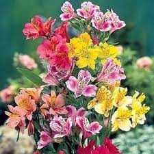 alstroemeria flower 25 alstroemeria peruvian mix flower seeds