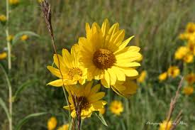 illinois native plants sawtooth sunflower