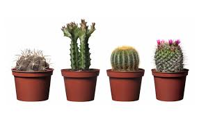 plant roots u0026 stems tiny cactus plants dazzle small cactus