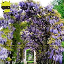 online buy wholesale blue wisteria from china blue wisteria