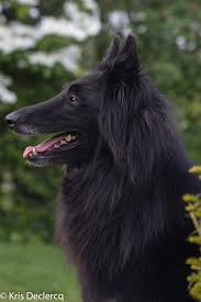 belgian sheepdog artwork belgian groenendael dog portrait pinterest belgian shepherd