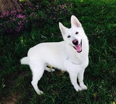 belgian sheepdog breeders pa bellevue german shepherds x u0027pect the unexpectd amazing white