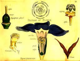 Vinca Flower Information - periwinkle vinca minor major magical uses in flower sorcery