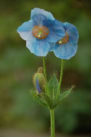 171 best perennial images on pinterest perennial flowers and plants