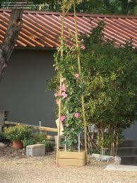 plantfiles pictures mandevilla pink allamanda u0027alice dupont