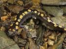 Spotted Salamanders, Spotted Salamander Pictures, Spotted.