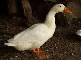the homesteaders guide to raising ducks nurtured ground