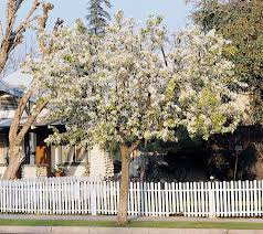 evergreen pear monrovia evergreen pear