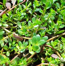 australian native aquatic plants brahmi plant bacopa monnieri woodvale fish u0026 lily farm