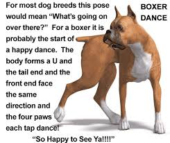 boxer dog kidney problems 32 best boxer lovers images on pinterest boxers boxer love and