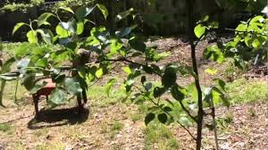 update espaliered dwarf fruit tree orchard at 14 months youtube
