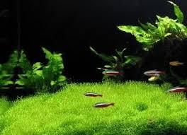 Aquascape Aquarium Plants Riccia Fluitans Moss Live Aquarium Plant