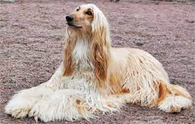 afghan hound breed afghan hound general features temperament health