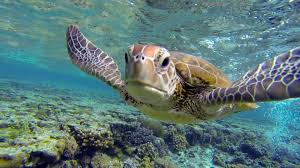 swim with a hungry sea turtle at lady elliot island great barrier