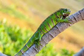 imágenes de iguanas verdes sin depredadores naturales en puerto rico proliferan iguanas verdes