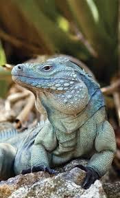 best 25 iguanas ideas on pinterest blue lizard reptiles