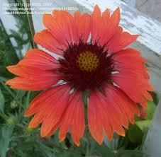plantfiles pictures gaillardia blanket flower indian blanket