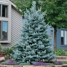 the 25 best blue spruce tree ideas on blue spruce