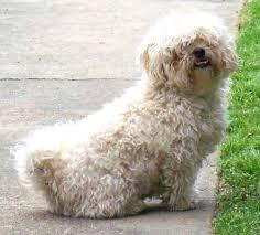 haircutsfordogs poodlemix shih tzu poodle mix haircut photo happy dog heaven