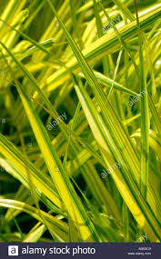 golden yellow variegated leaves of ornamental grass stock photo