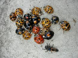 What Are These Tiny Bugs In My Bathroom Biting Alien Harlequin Ladybirds Riddled With Stds Swarming Uk In