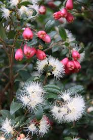 best australian native hedge plants bush food native plant and revegetation specialists