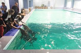 tiny pool tragedy of suffering dolphins kept in tiny hotel swimming pool as