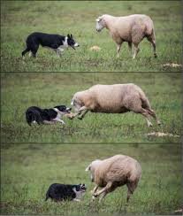 Border Collie Meme - i d say she got what she deserved working border collie at the