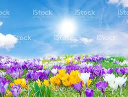 crocuses in the spring sun stock photo 511513952 istock
