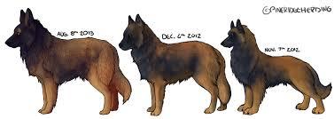 belgian sheepdog colors belgian tervuren extended comparison prh by keetay on deviantart