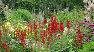 cardinal flower gardening tips flowers how to grow cardinal flower lobelia