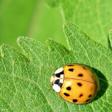 How To Find Ladybugs In Your Backyard Why Do Ladybugs Swarm On Your House Dengarden