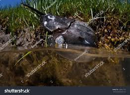 horseshoe crab limulus polyphemus lives salt stock photo 129012173