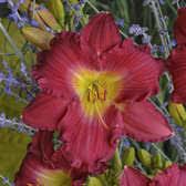 reblooming daylilies shop plants a to z hemerocallis reblooming daylilies bloomin