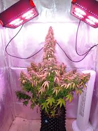 growing autoflower with led lights dutch passion s think different auto alchimia blog