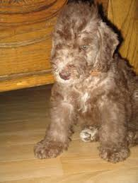 bedlington terrier guard dog img 8512 copy
