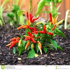 fresh growing ornamental pepper plant stock photo image 44114251